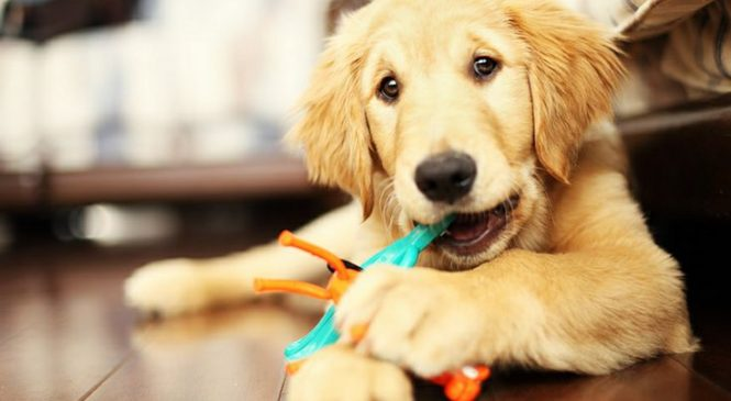 Did You Know The Difference Between Chew Toys And Play Toys?