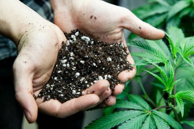 Why Cannabis Plants Need Silica Supplement?